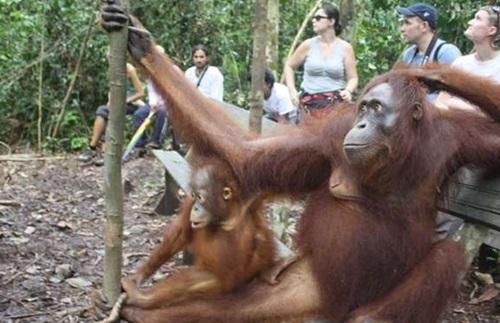 Taman Nasional Tanjung Puting Wisata Borneo Utan Penangkaran Nyaru Menteng