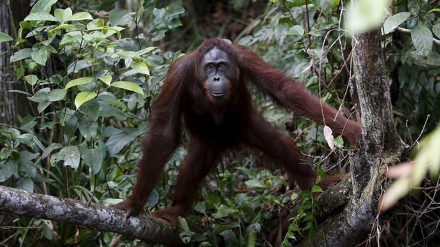 Wanna Orangutan Sirkus Thailand Akhirnya Pulang Rumah Penangkaran Utan Nyaru