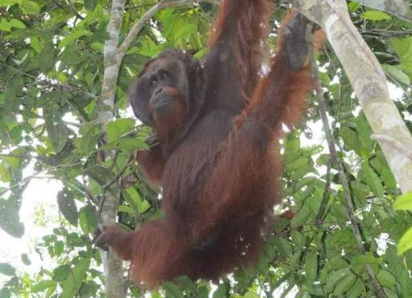 Melihat Satwa Langsung Habitatnya Taman Nasional Sebangau Oleh Kota Palangkaraya
