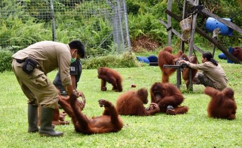 Populasi Orangutan Taman Nasional Sebangau Bertambah Foto Dok Menlhk Id
