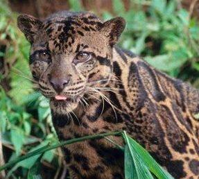 Sebangau Taman Nasional Neofelis Diardi Predator Eksotik Kota Palangkaraya