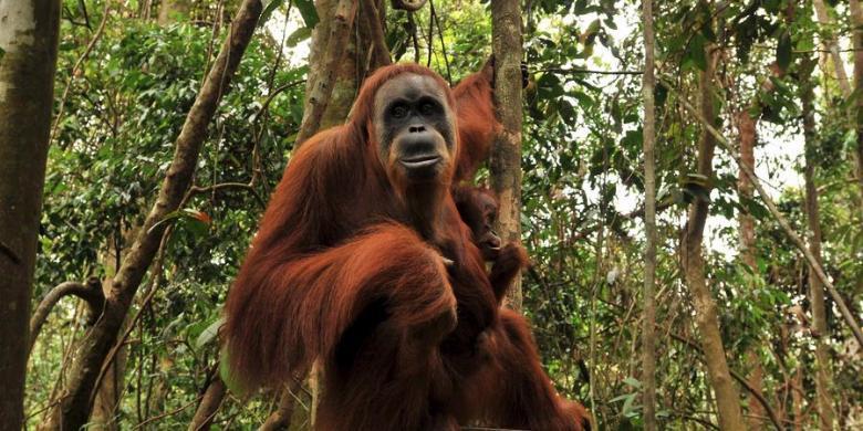 Tn Sebangau Surganya Orangutan Kompas Taman Nasional Kota Palangkaraya