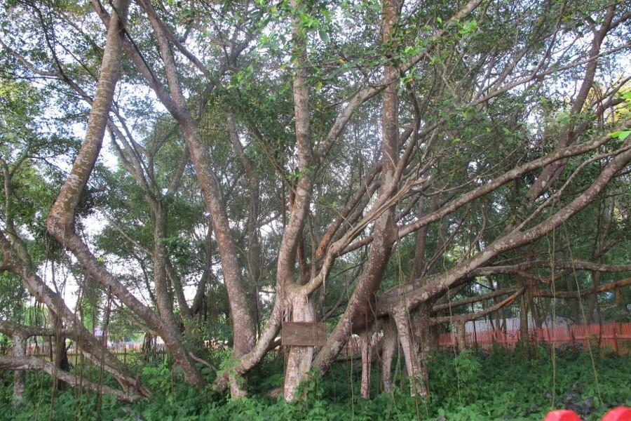 Menguak Mitos Pohon Cinta Pulau Kemaro Palembang Wisata Kota