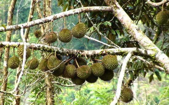 Agustus 2010 Personal Blog Inam Buah Durian Pohon Taman Ntovea