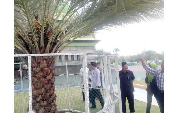 Pohon Kurma Mesjid Agung Nur Berbuah Jadi Perbincangan Hangat Pekanbaru