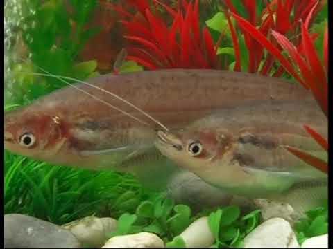 Ikan Selais Kryptopterus Lais Sobat Berkumis Riau Youtube Tugu Tiga