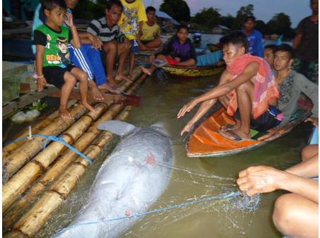 Pesut Mahakam Primadona Sungai Menghilang Anggita Gambar Temukan Mati Patung