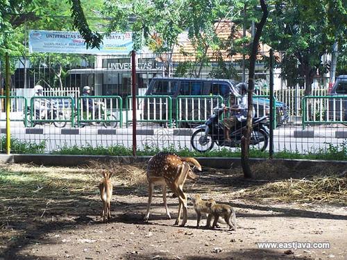 Kebun Bibit Surabaya Monkey Deer East Jav Flickr Java Eastjava