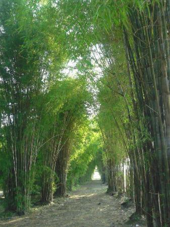 Bamboo Forest Foto Hutan Bambu Taman Sakura Keputih Sukolilo Kota