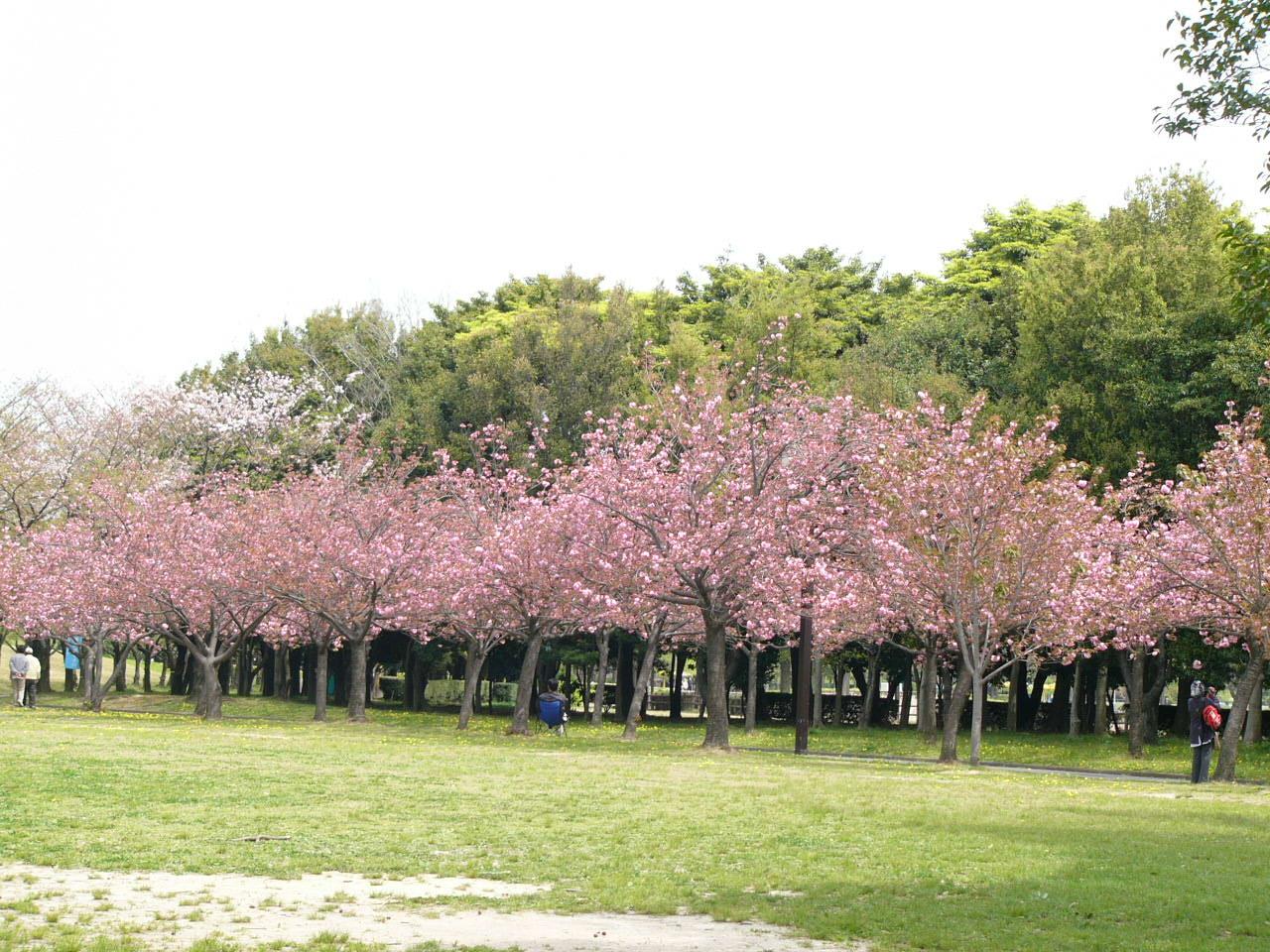 Bunga Sakura Rekah Indonesia Taman Cibodas Kebun Raya Merayakan Rekahnya