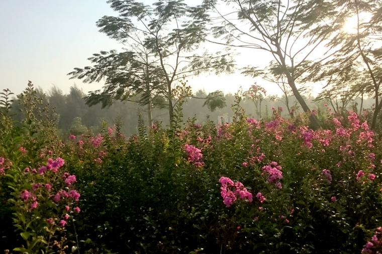 Taman Sakura Keputih Phinemo Bunga Surabaya Kota