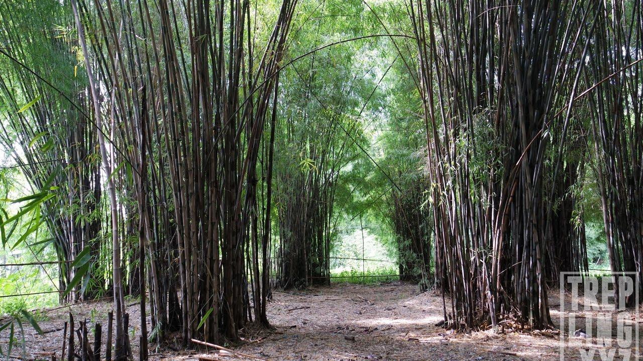 Wisata Alam Hutan Bambu Taman Sakura Keputih Surabaya Gak Kalah