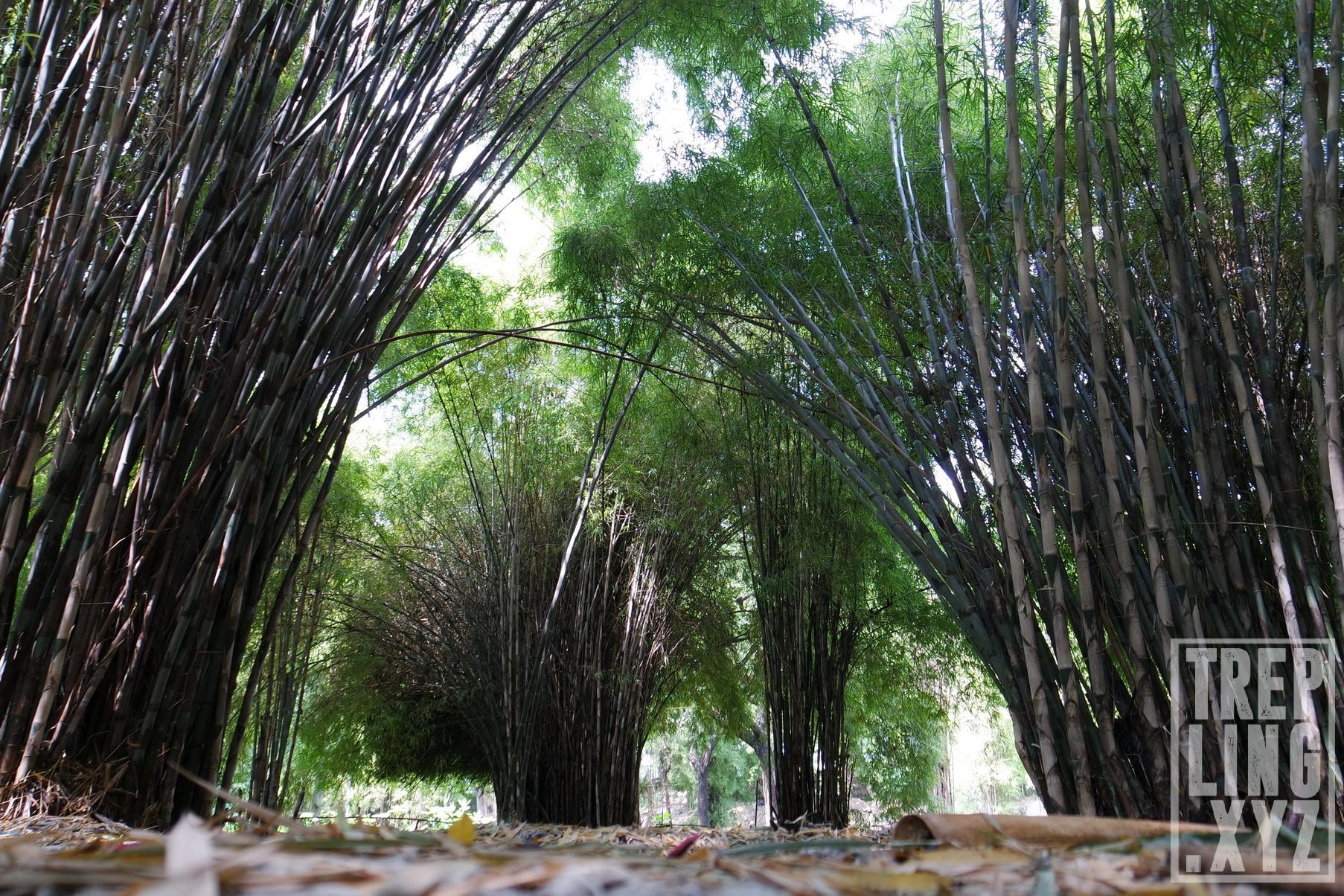 Wisata Alam Hutan Bambu Taman Sakura Keputih Surabaya Penampakan Kota