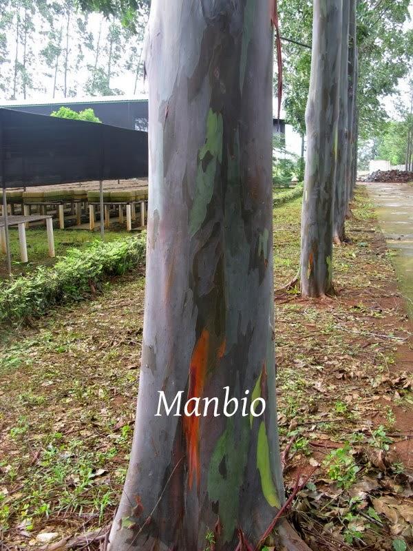 Eucalyptus Deglupta Literatur Batangnya Lurus Bulat Pangkal Sampai Ujung Dahan