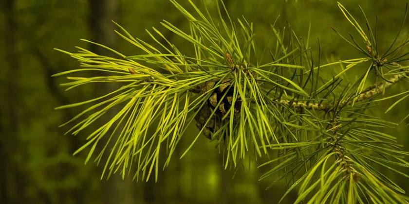 Pohon Pinus Merkusii Hutan Habitat Sebaran Daun Persemaian Pt Perhutani