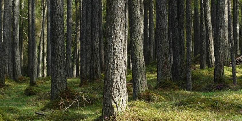 Pohon Pinus Merkusii Hutan Habitat Sebaran Persemaian Pt Perhutani Kota