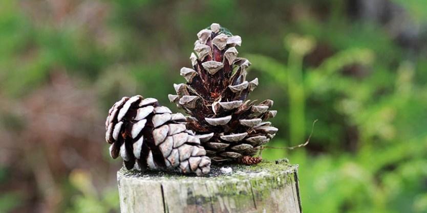 Pohon Pinus Merkusii Hutan Habitat Sebaran Strobilus Persemaian Pt Perhutani