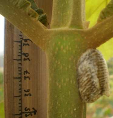 Respon Pertumbuhan Awal Klon Jati Unggul Nusantara Jun Kepompong Ulat