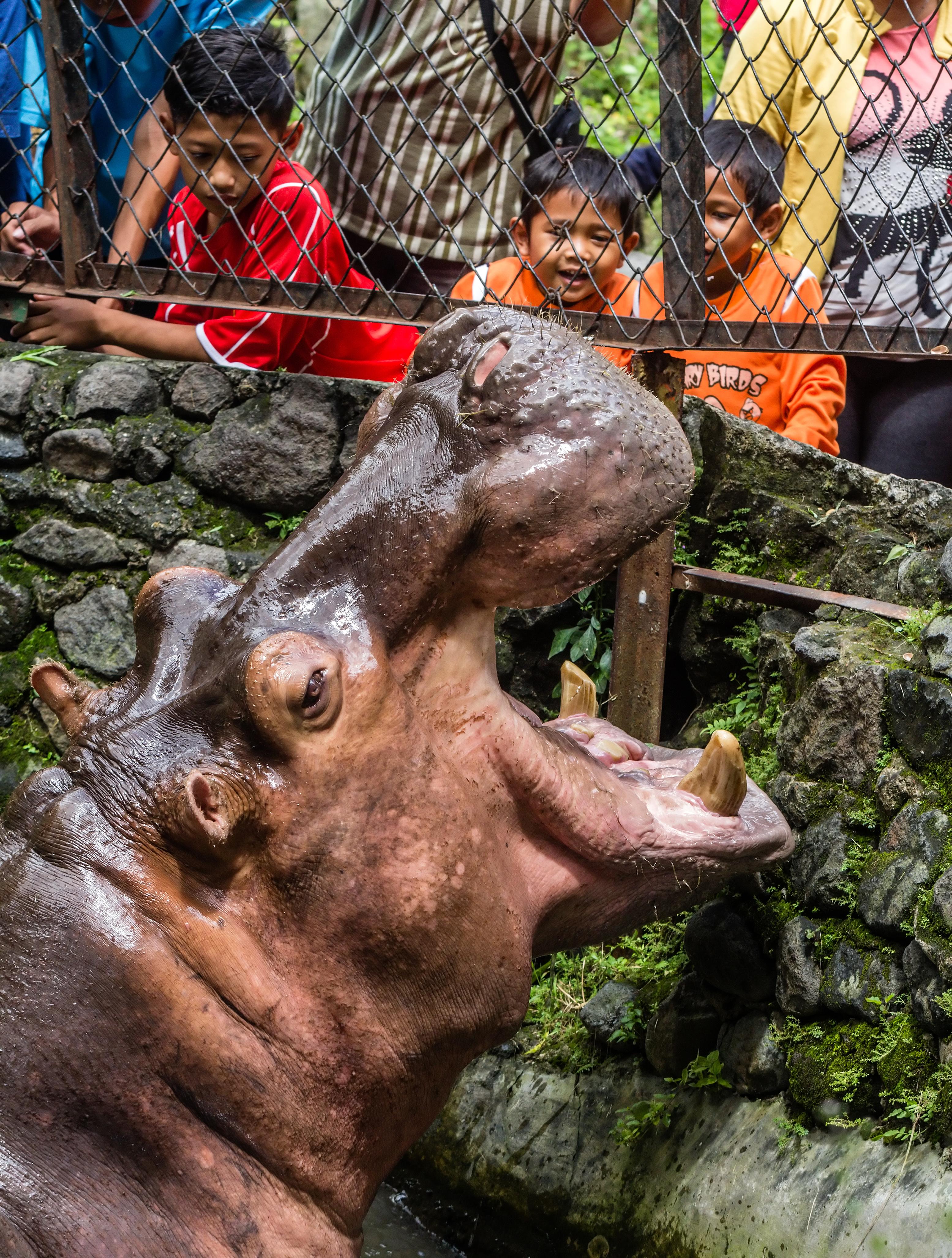 File African Hippopotamus Greeting Guests Gembira Loka Zoo Yogyakarta 2015
