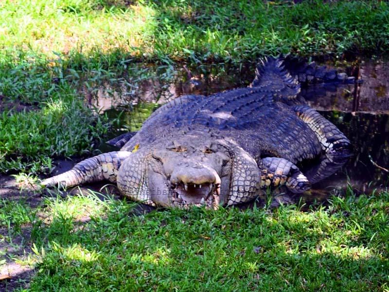 Kebun Binatang Gembira Loka Yogyakarta Buaya Bonbin Kota