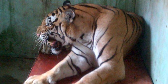 Kota Yogya Dilanda Badai Harimau Gembira Loka Nyaris Lepas Bonbin