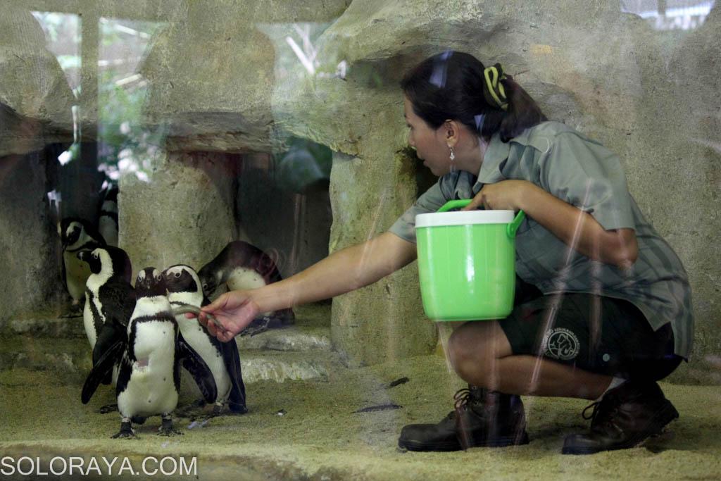 Lucunya Penguin Koleksi Gembira Loka Yogyakarta Aengaeng Dwi Rahayu Perawat