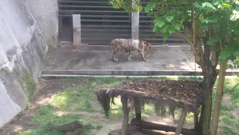 Makan Dikorupsi Penjaga Kondisi Harimau Bonbin Gembira Loka Jatah Yogya