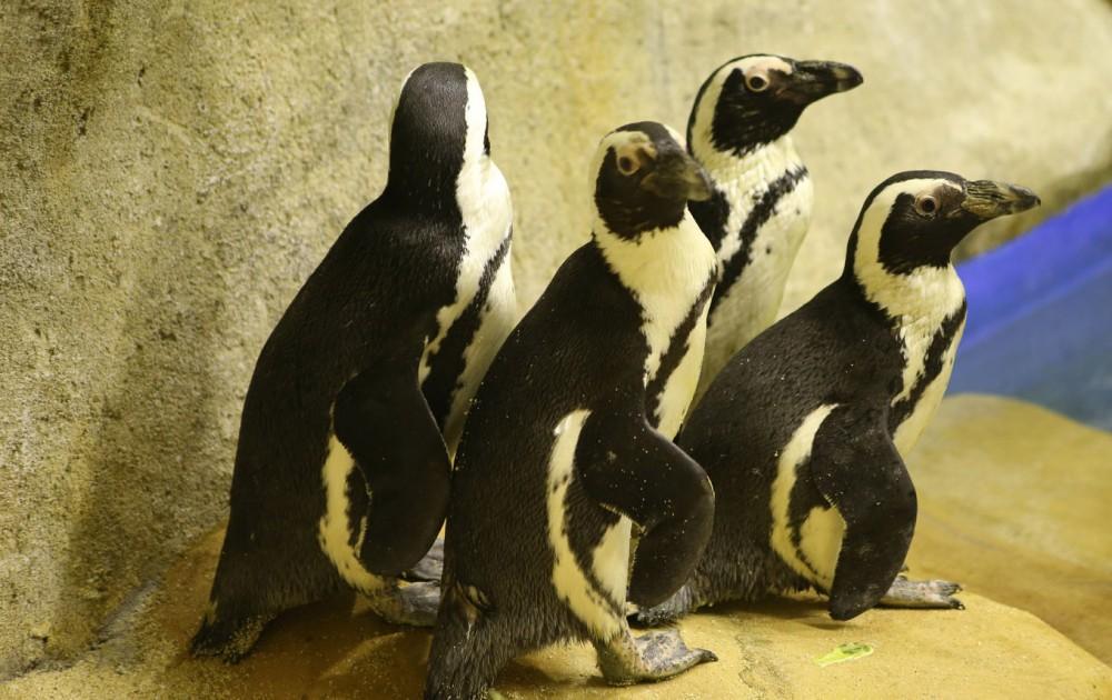 Penguin Afrika Gembira Loka Jalanjogja Destinasi Wisata Bonbin Yogyakarta Kota