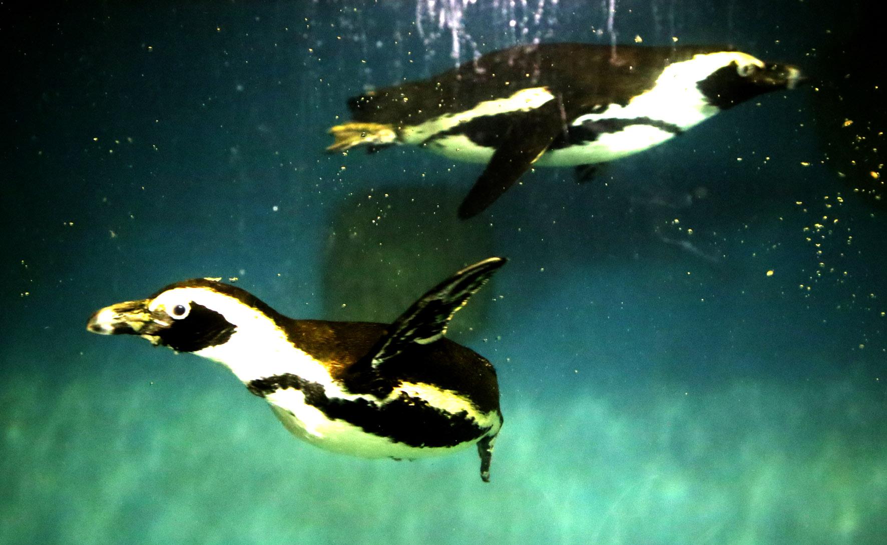 Penguin Afrika Gembira Loka Jalanjogja Destinasi Wisata Kebun Binatang Gembiraloka