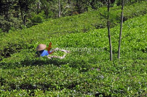 Kebun Teh Nglinggo Asyiknya Wisata Jogja Teamtouring Aktivitas Memetik Kulon