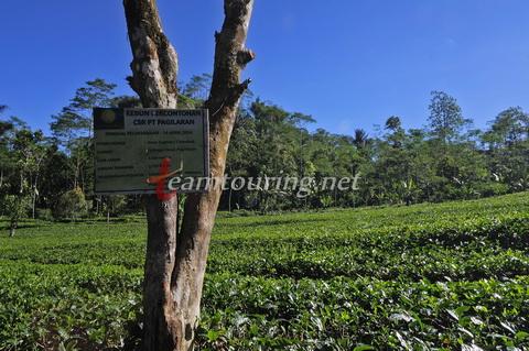 Kebun Teh Nglinggo Asyiknya Wisata Jogja Teamtouring Percontohan Pt Pagilaran
