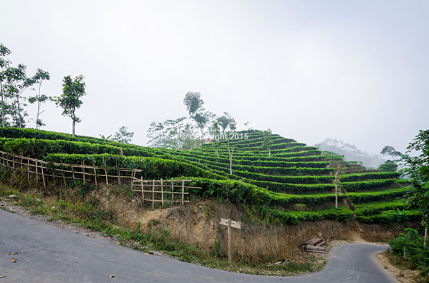 Kebun Teh Nglinggo Bahasa Indonesia Traveler Reviews Kota Yogyakarta