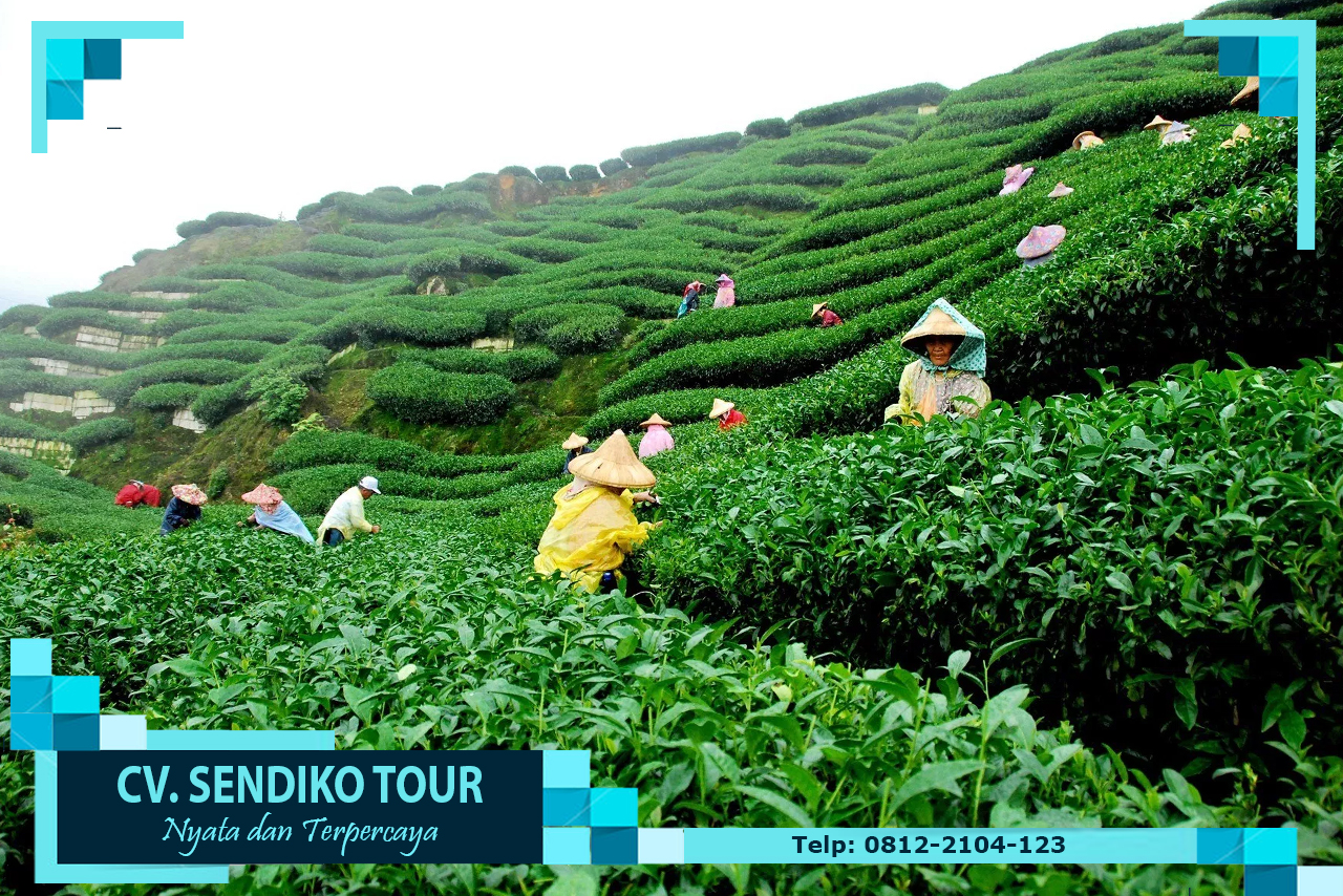 Kebun Teh Nglinggo Cv Sendiko Tour Kota Yogyakarta