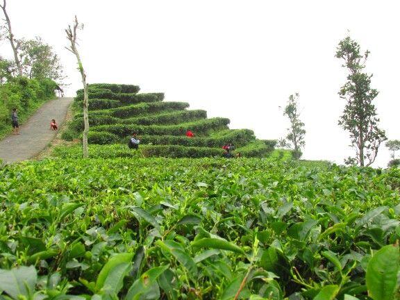 Kebun Teh Nglinggo Hotel Murah Jogja Penginapan Kota Yogyakarta