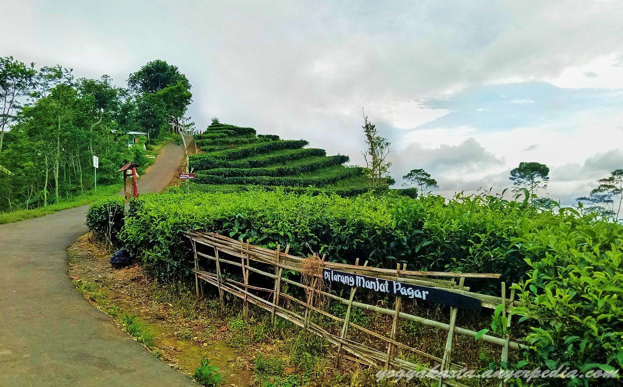 Kebun Teh Nglinggo Jogja Menikmati Udara Sejuk Panorama Alam Salah