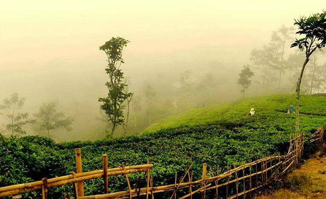 Kebun Teh Nglinggo Kulon Progo Kotajogja Kota Yogyakarta