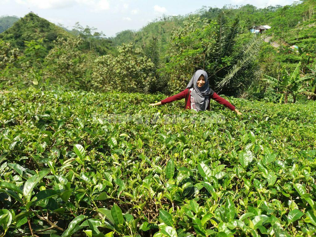 Kebun Teh Nglinggo Kulon Progo Wisata Alam Perbukitan Kota Yogyakarta