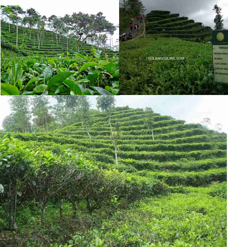 Kebun Teh Nglinggo Kulonprogo Jogja Kota Yogyakarta