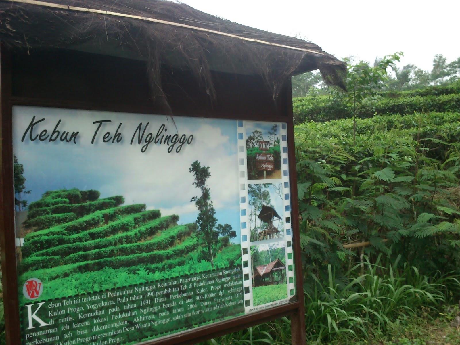Kebun Teh Nglinggo Kulonprogo Mbolangyuks Kota Yogyakarta