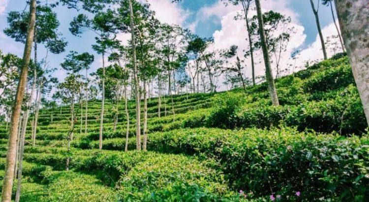 Kebun Teh Nglinggo Menikmati Alam Secangkir Tour Wisata Jogja Kota