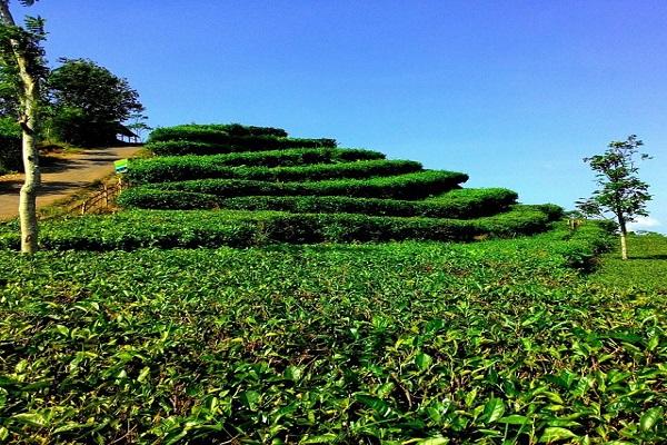 Kebun Teh Nglinggo Panorama Bak Lembang Jogja Bon Voyage Kota