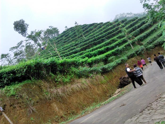 Kebun Teh Nglinggo Samigaluh Kulon Progo Yogyakarta Tempat Menarik Kota