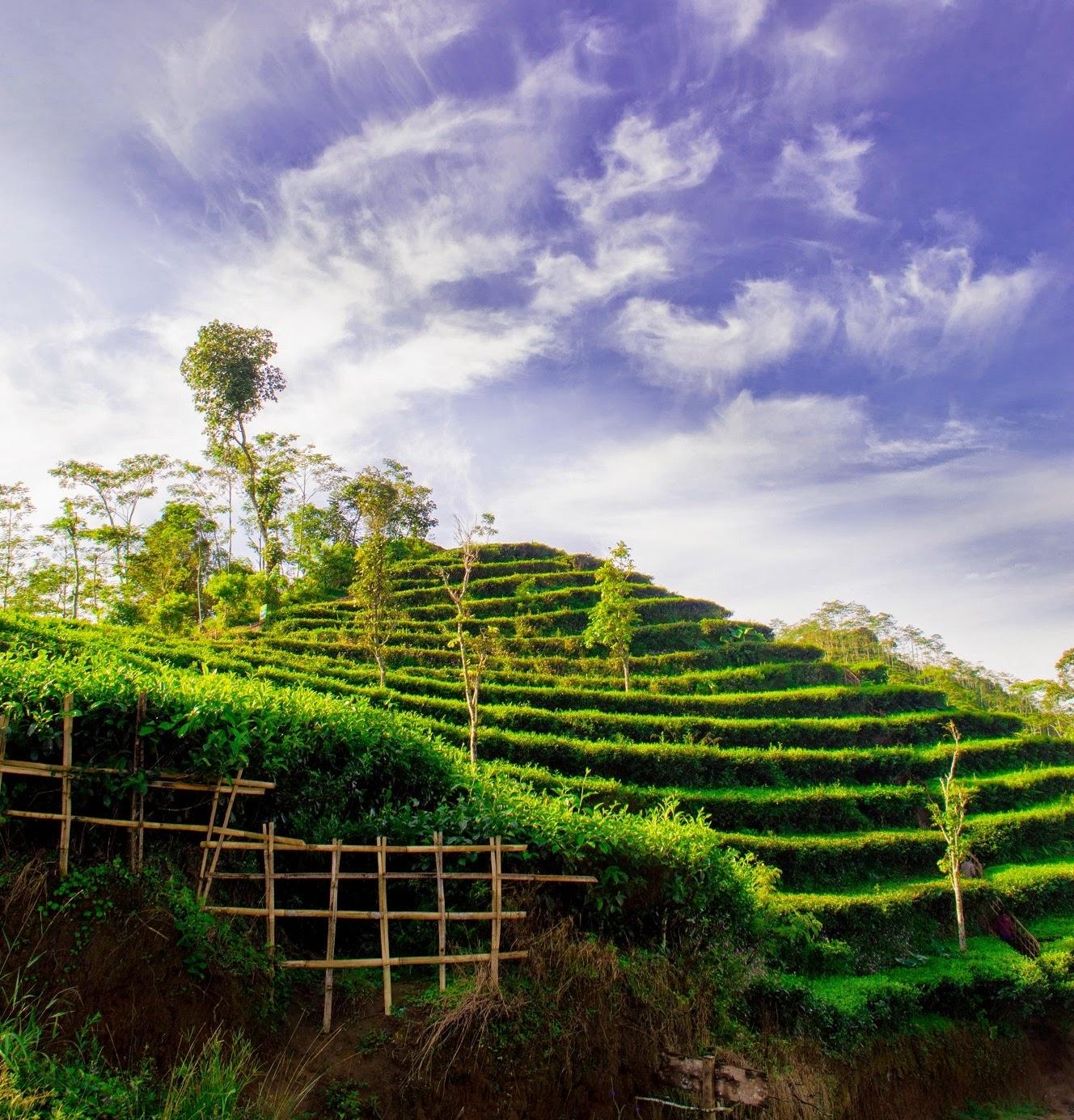 Kebun Teh Nglinggo Satu Satunya Jogja Onenesia Kota Yogyakarta