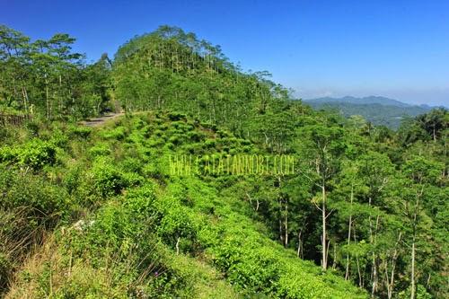 Kebun Teh Nglinggo Satu Satunya Yogyakarta Catatan Nobi Menyejukan Itulah
