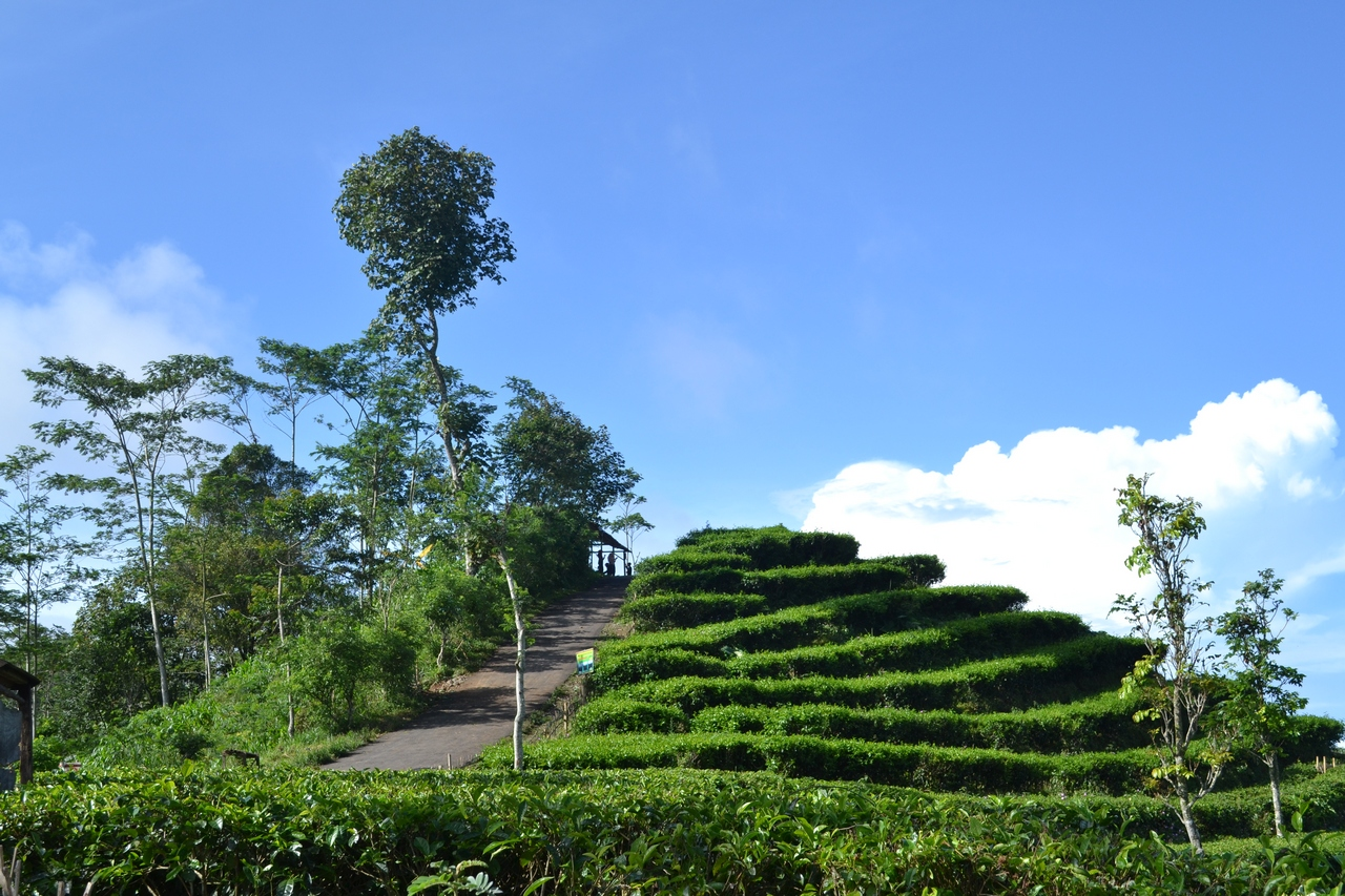 Kebun Teh Nglinggo Yogyakarta Keindahan Alam Berbukit Bukit Kota