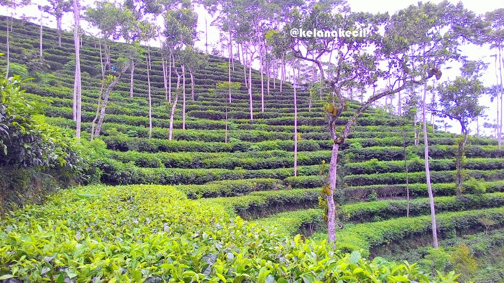 Menikmati Segelas Teh Alami Kebun Tritis Kulon Progo Dusun Milik