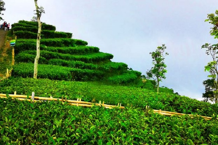 Pemkab Membangun Gardu Pandang Kebun Teh Nglinggo Kota Yogyakarta