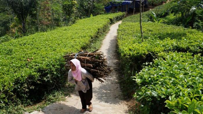 Retribusi Kebun Teh Nglinggo Tritis Diusulkan Jadi Satu Tribun Jogja