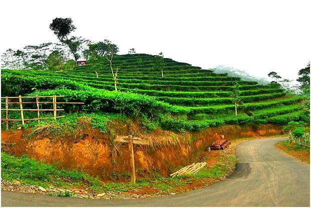 Rute Tiket Masuk Kebun Teh Nglinggo Kulon Progo Kota Yogyakarta