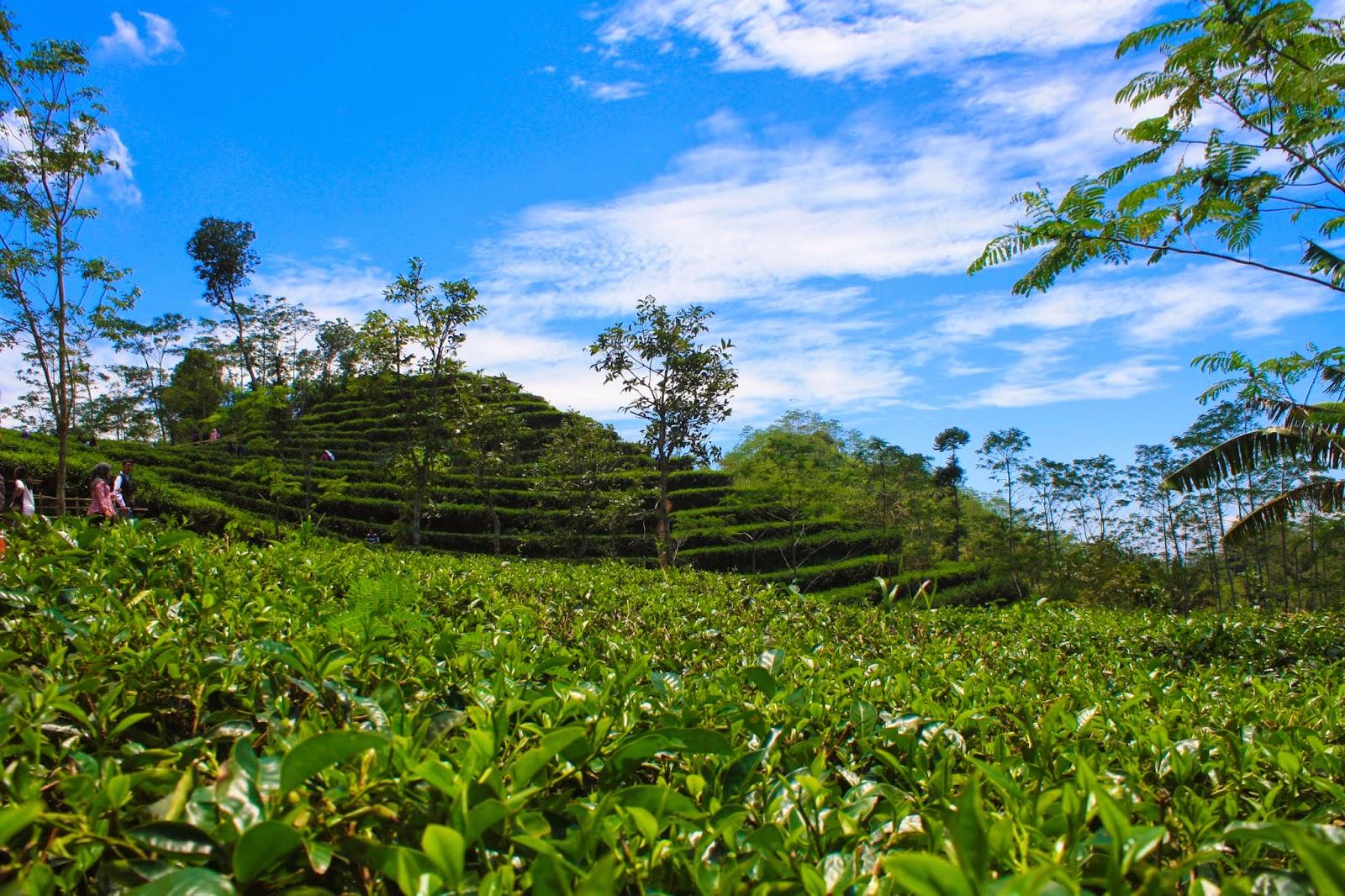 Teh Nglinggo Kebun Samigaluh Kota Yogyakarta